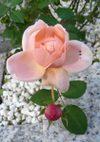 Ambridge_rose_071118a