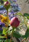Ambridge_rose_071124