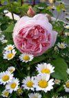 Ambridge_rose_080517a