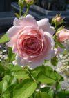 Ambridge_rose_080526_3