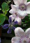 Hagley_arabella_080522b