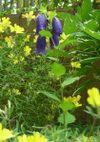 Oenothera_080524a