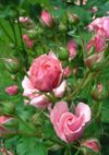 Pinkbunny_080524b