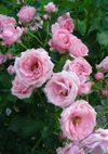Pinkbunny_080601