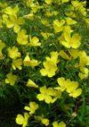 Oenothera_080601a
