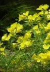 Oenothera_080601b