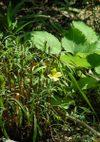 Oenothera_080608a