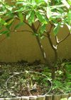 Oenothera_080608b