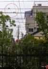 Hiyodori_080702c