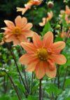 Misho_orange_080621