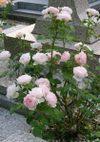Ambridge_rose_080716a