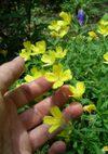 Oenothera_080713b