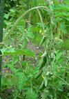 Tomato_080621_2