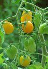 Tomato_081004