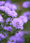 Aster_081012