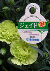 Carnation_jade_090503d