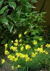 Oenothera_090516a
