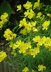 Oenothera_090516b