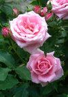 Pinkbunny_090523b