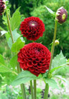Red_star_090627