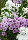 Aster_091011
