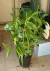 Dendrobium101205c