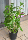 Dendrobium110306c