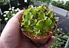 Lettuce120415a