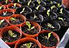 Lettuce120415b