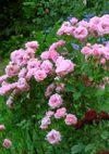 Pinkbunny_070612_1